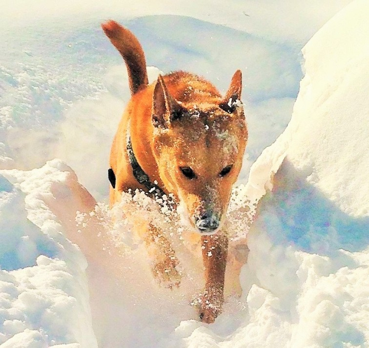 Danica, my Carolina Dingo, lunging through New England snow.