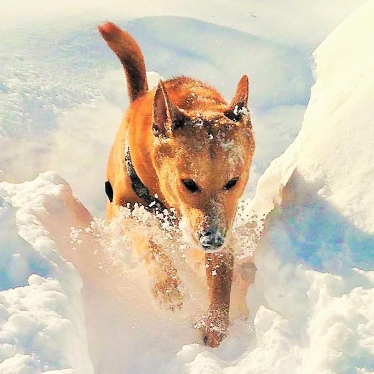 Danica, my Carolina Dingo, lunging through New England snow.