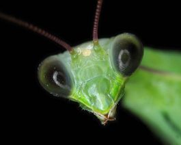 praying-mantis-facts