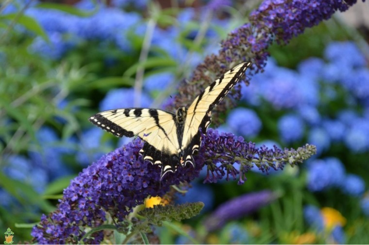 adonsis-blue-butterfly-bush-0